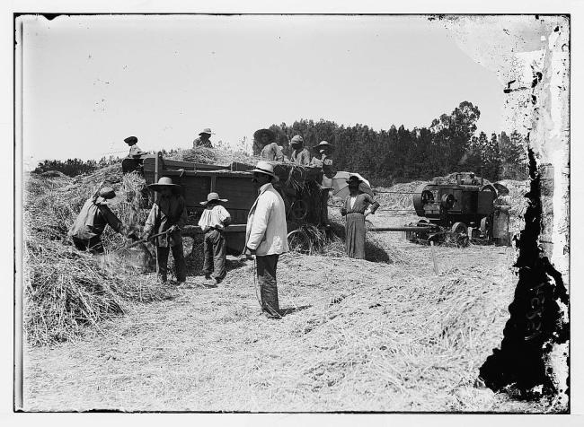 Jewish harvesting